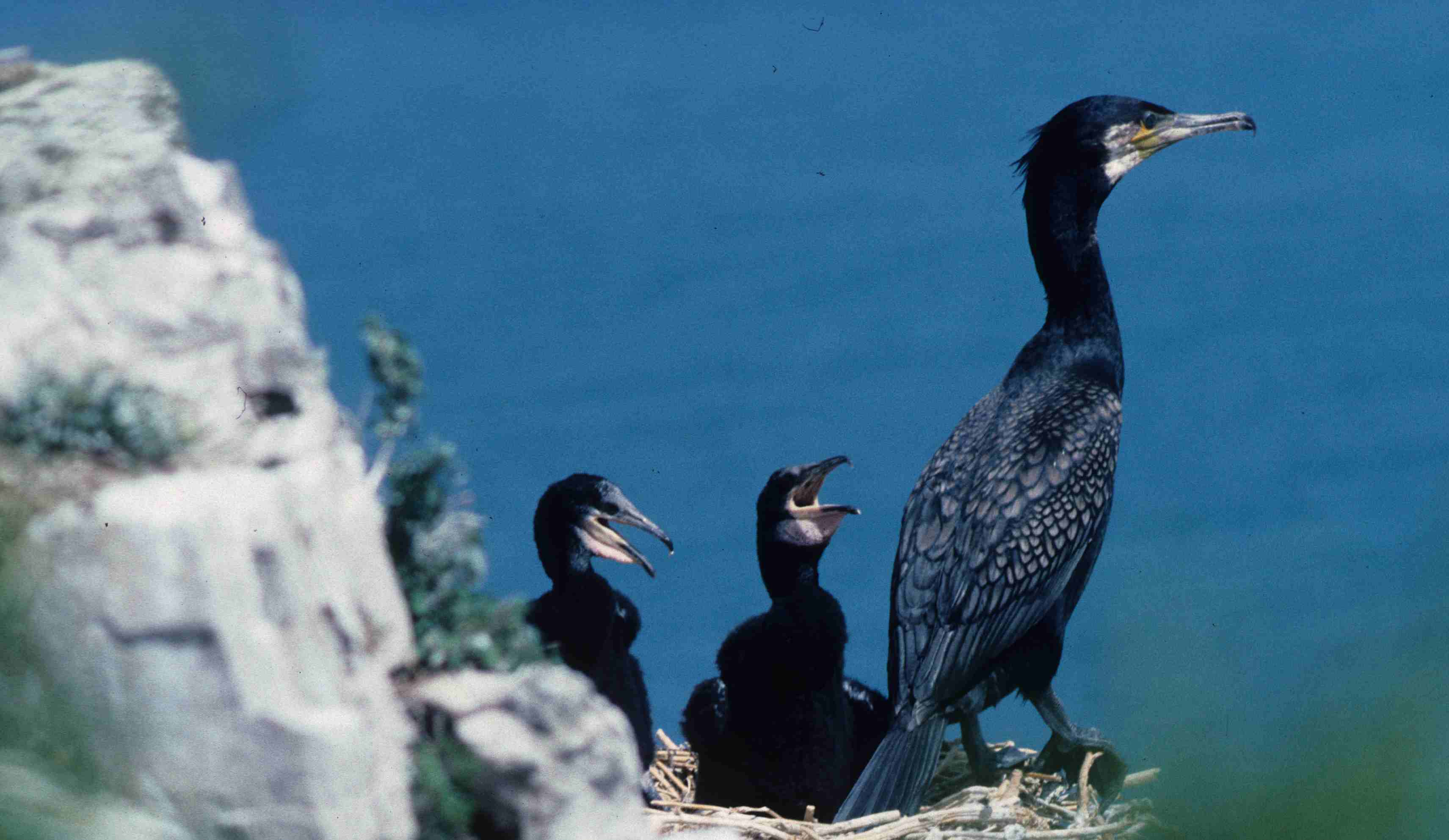 Cormorant (Phalacrocorax carbo). Copyright J B Ratcliffe 1990